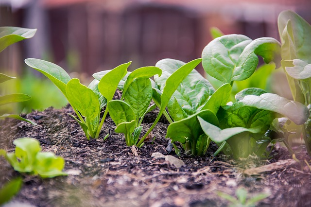 spinach catalyst
