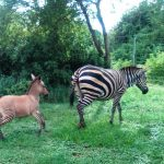 A rare Zonkey born in Kenya