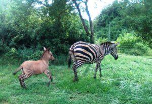 Zebra and baby zonkey in Kenya